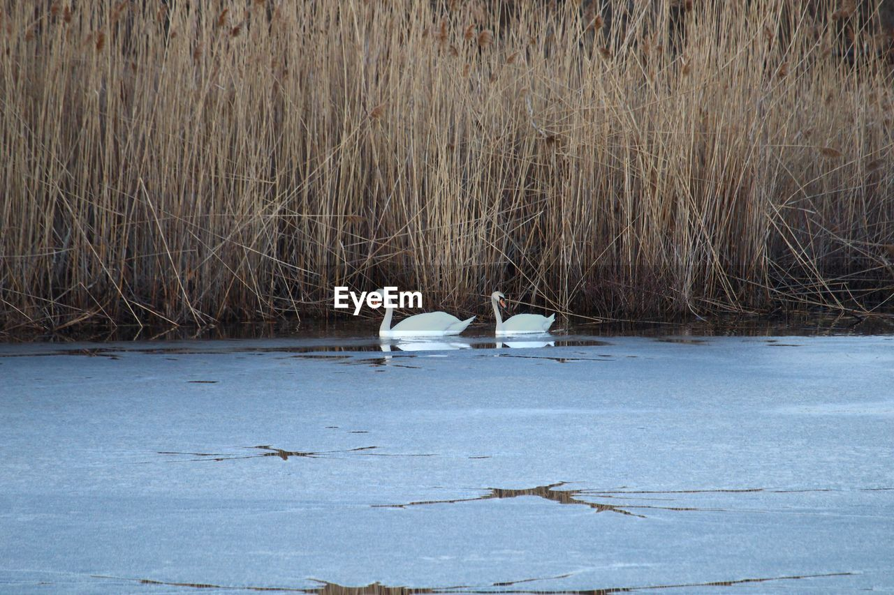 animals in the wild, bird, animal themes, animal wildlife, nature, water, day, no people, lake, outdoors, beauty in nature, perching, swan