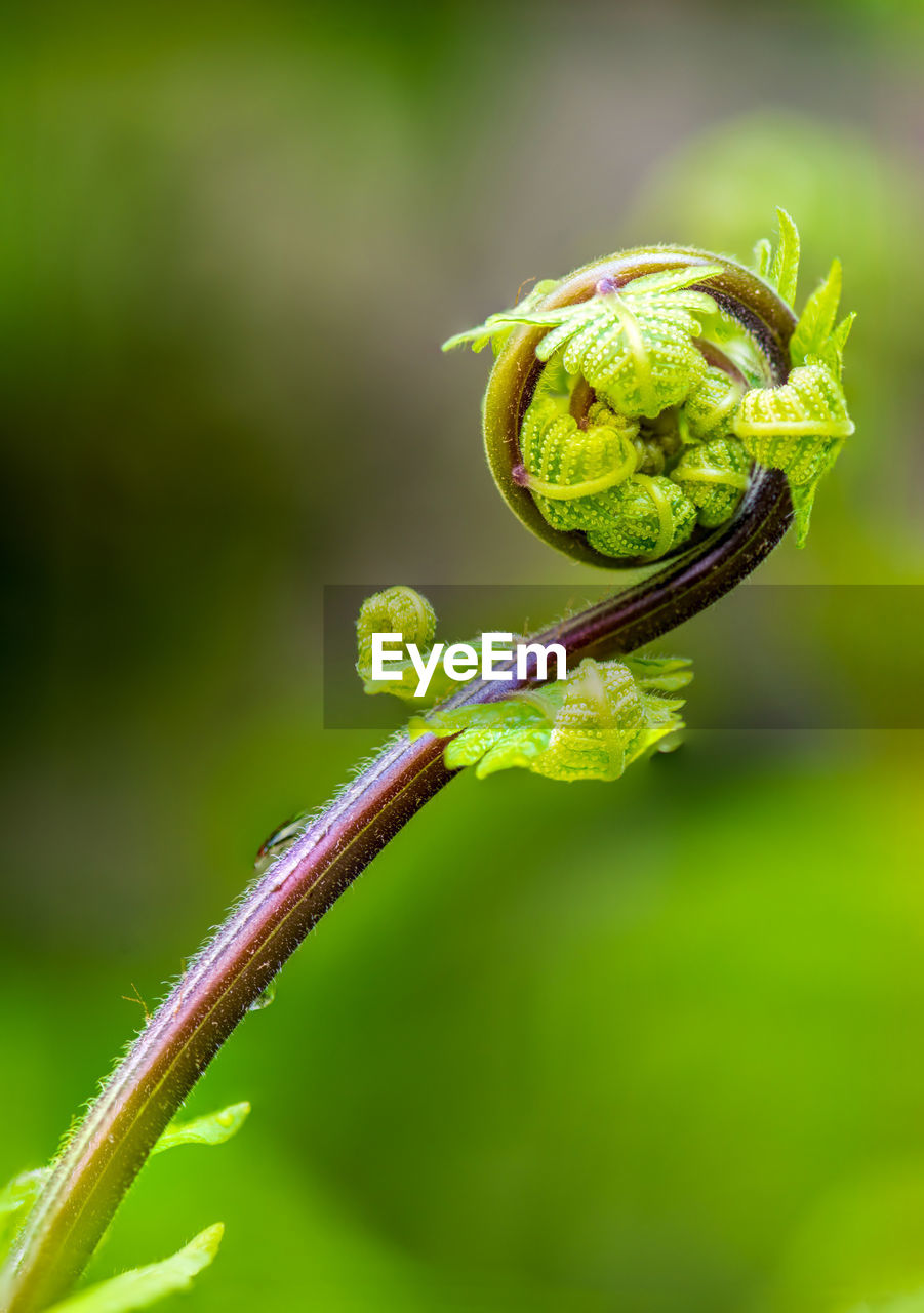 green color, close-up, plant, focus on foreground, growth, nature, tendril, no people, beauty in nature, day, beginnings, plant stem, fragility, selective focus, vulnerability, spiral, outdoors, freshness, flower, plant part, curled up, sepal
