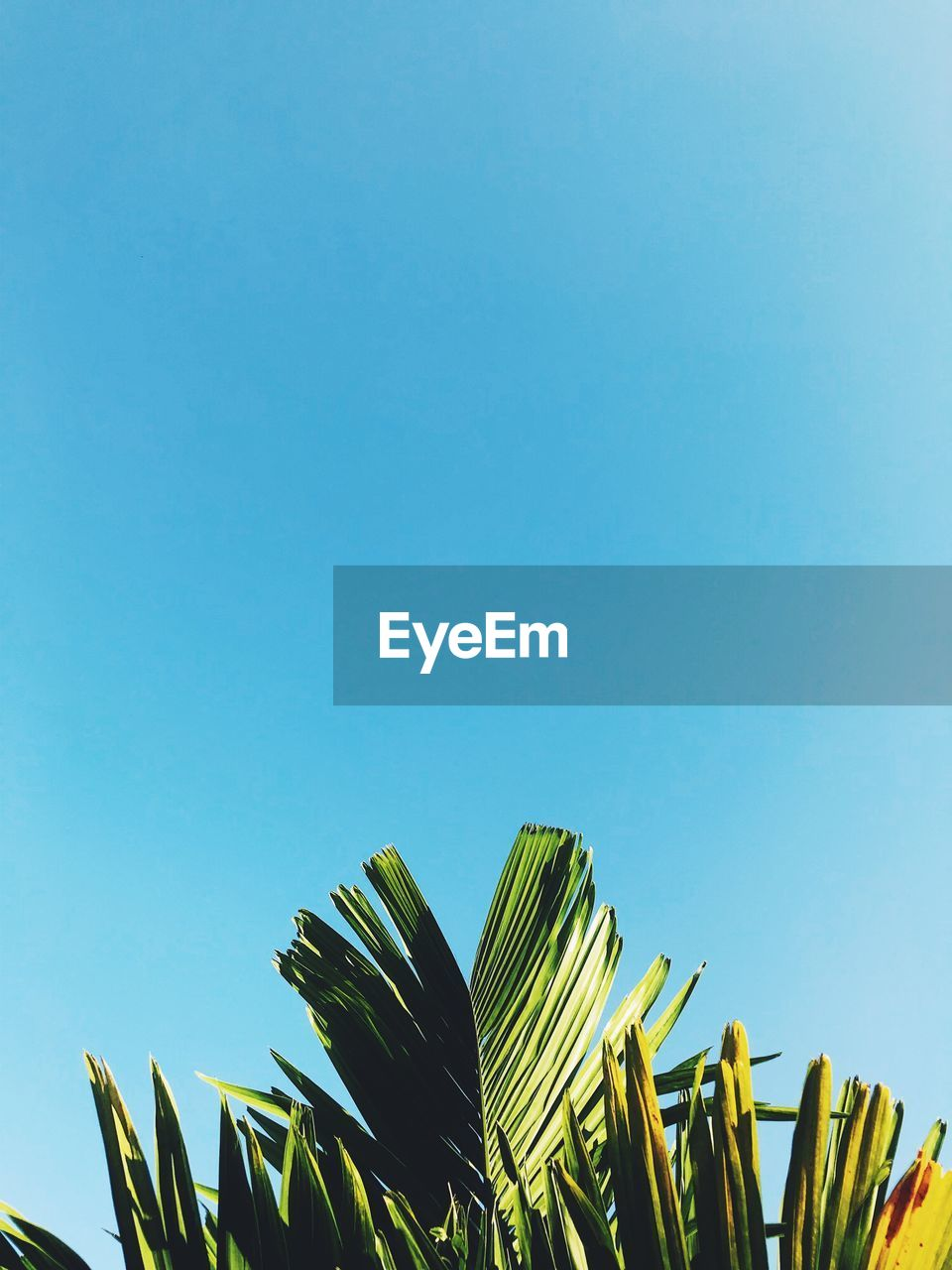 sky, low angle view, clear sky, copy space, blue, plant, growth, nature, no people, leaf, green color, day, palm leaf, beauty in nature, palm tree, sunlight, plant part, outdoors, tree, tranquility
