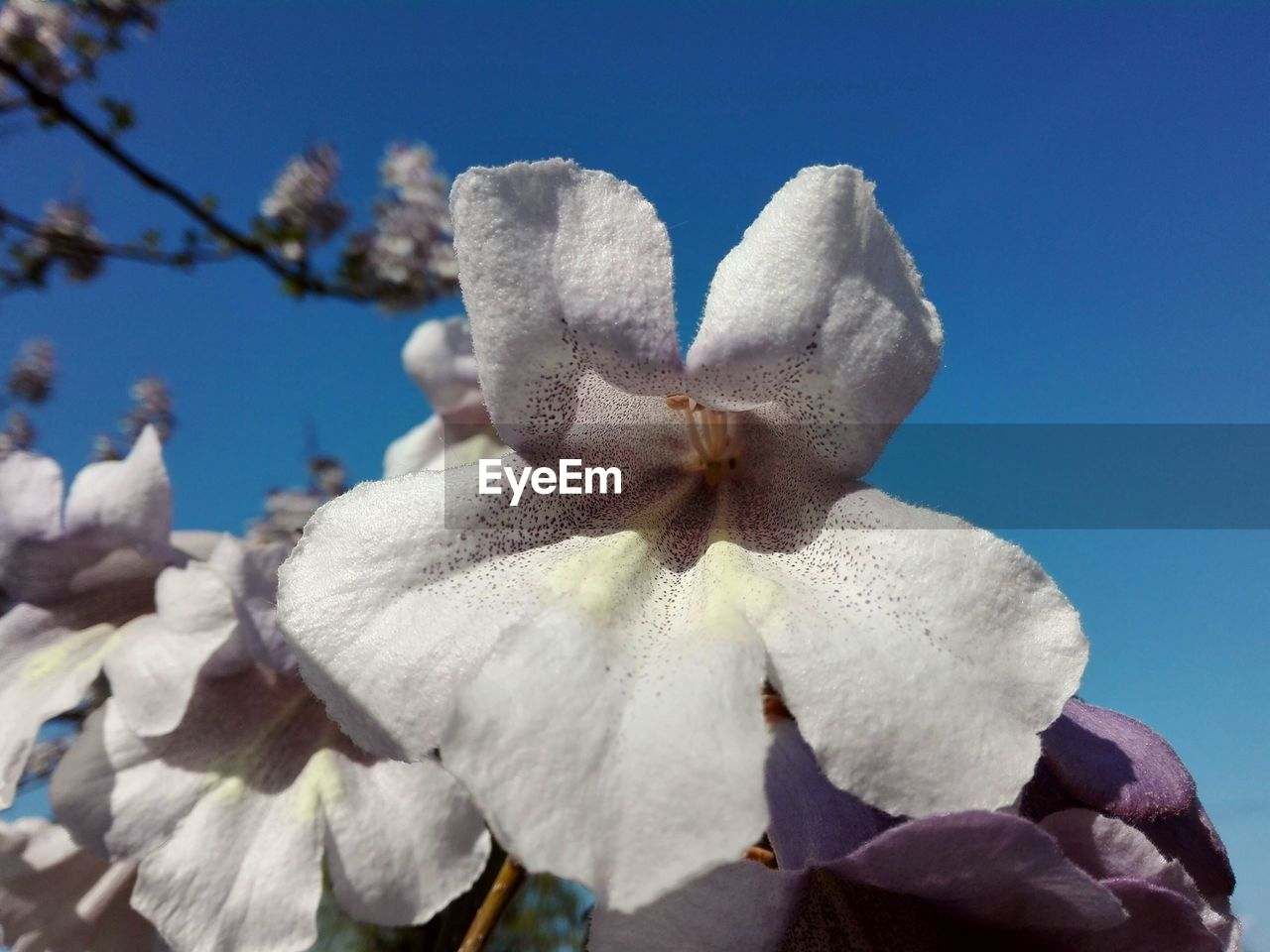 plant, flower, beauty in nature, flowering plant, vulnerability, fragility, close-up, petal, sky, nature, freshness, growth, flower head, inflorescence, no people, white color, day, low angle view, blue, clear sky, softness, outdoors, springtime, pollen