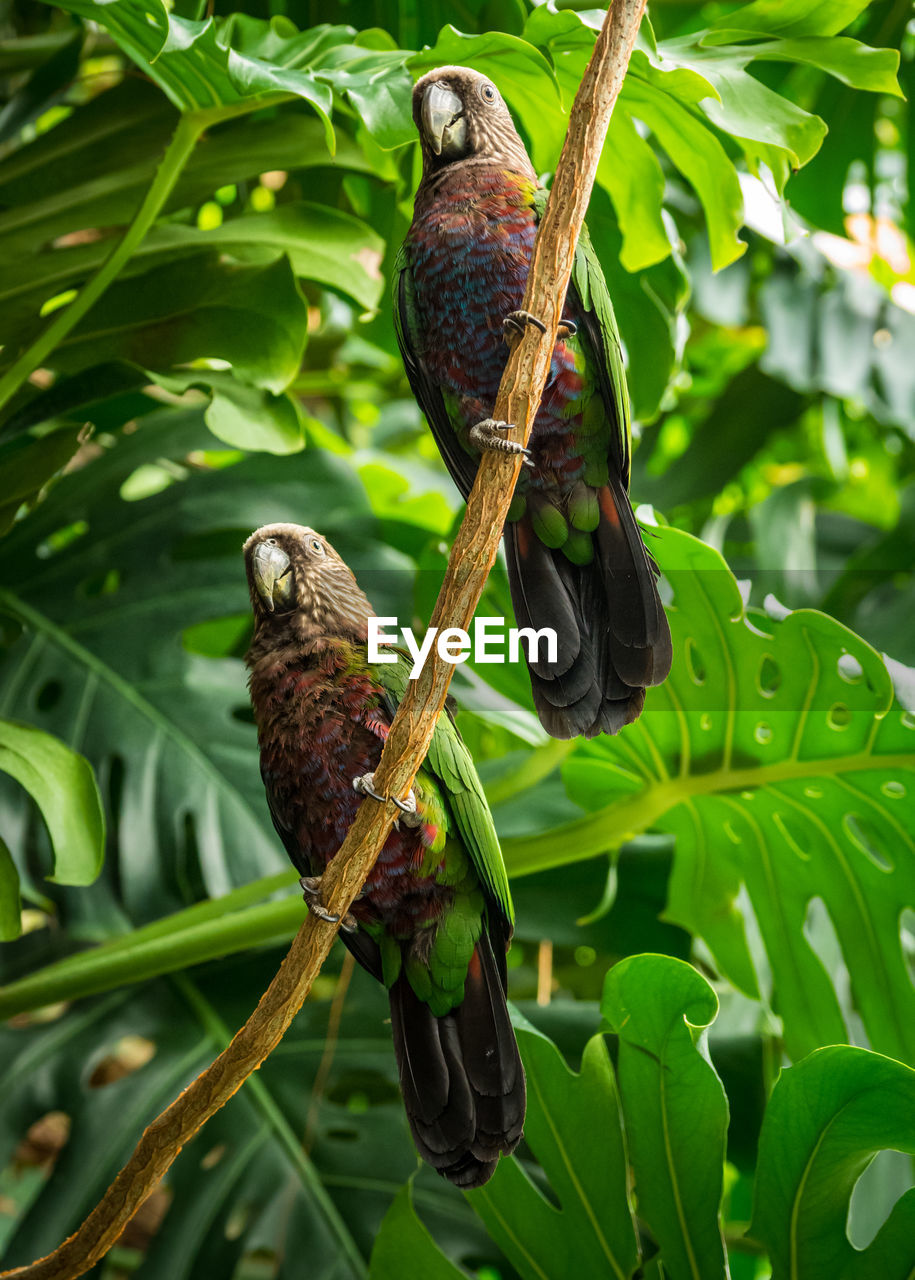 Two hawk headed parrots perched on a vine in a lush green jungle.