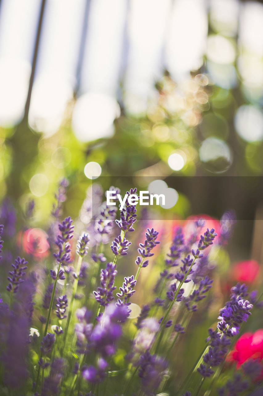 flower, nature, growth, purple, plant, no people, beauty in nature, outdoors, day, freshness, close-up