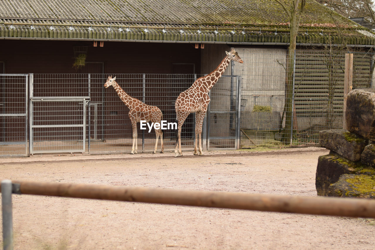 animal, animal themes, mammal, animal wildlife, giraffe, animals in captivity, vertebrate, zoo, animals in the wild, day, group of animals, domestic animals, herbivorous, boundary, no people, fence, barrier, nature, safari, outdoors