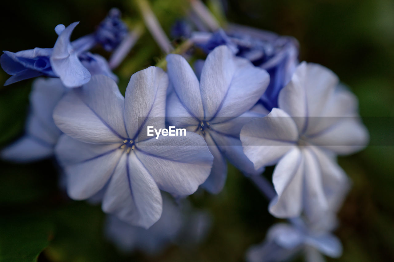 flowering plant, flower, fragility, plant, vulnerability, beauty in nature, petal, freshness, close-up, inflorescence, growth, flower head, white color, focus on foreground, no people, nature, day, purple, blue, outdoors