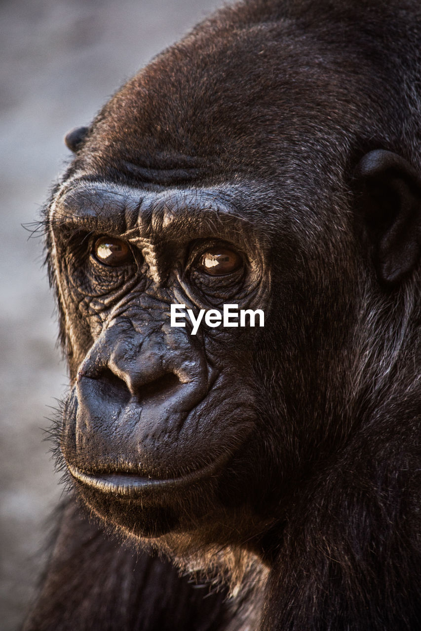 one animal, animals in the wild, animal wildlife, mammal, animal themes, animal head, no people, portrait, close-up, outdoors, focus on foreground, nature, ape, looking at camera, gorilla, chimpanzee, day