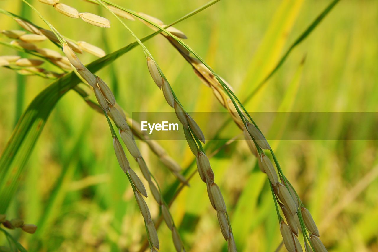plant, growth, focus on foreground, close-up, green color, beauty in nature, day, nature, no people, agriculture, tranquility, crop, land, field, cereal plant, rice - cereal plant, farm, outdoors, grass, rural scene, blade of grass