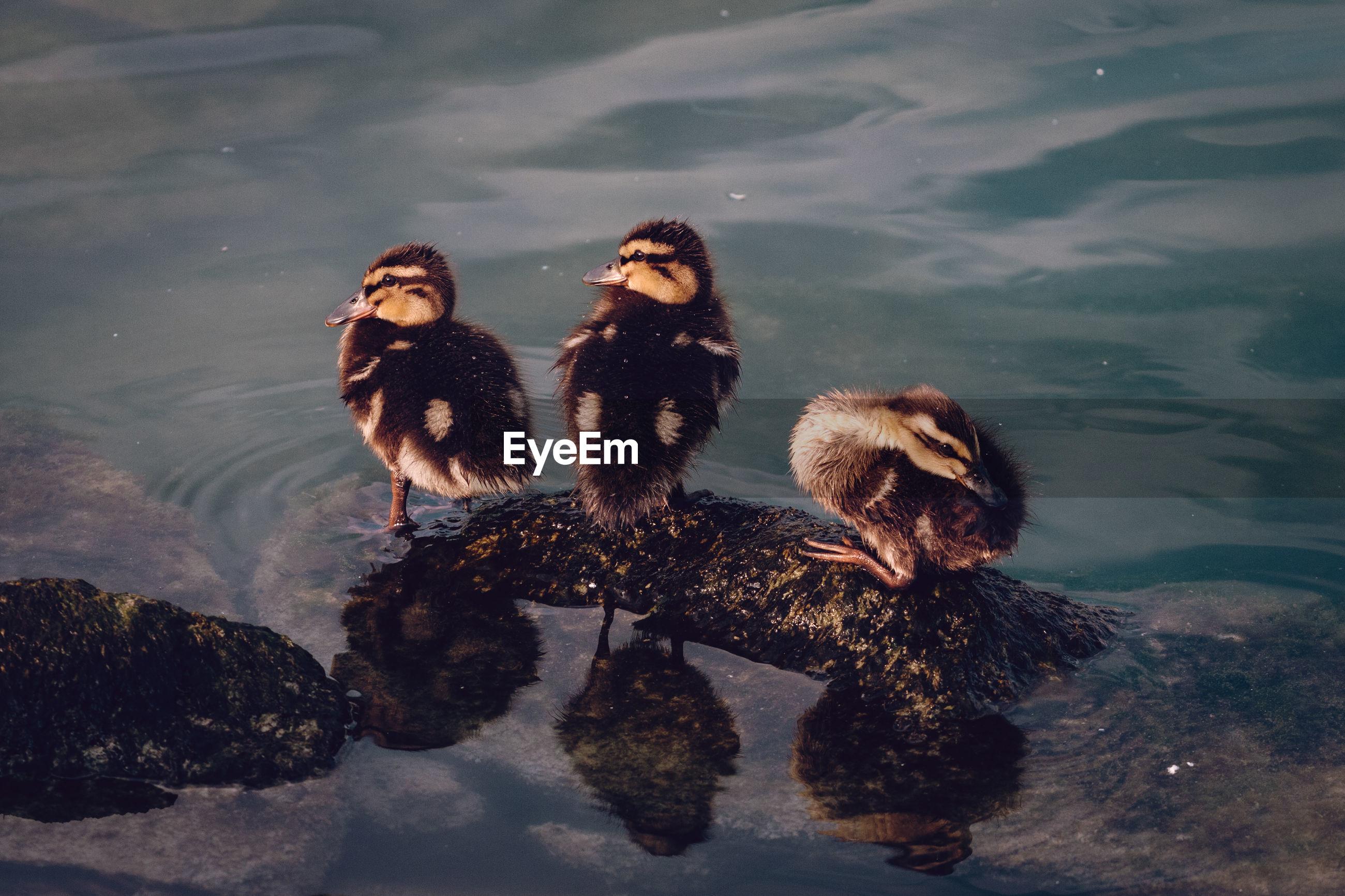Young ducks perching
