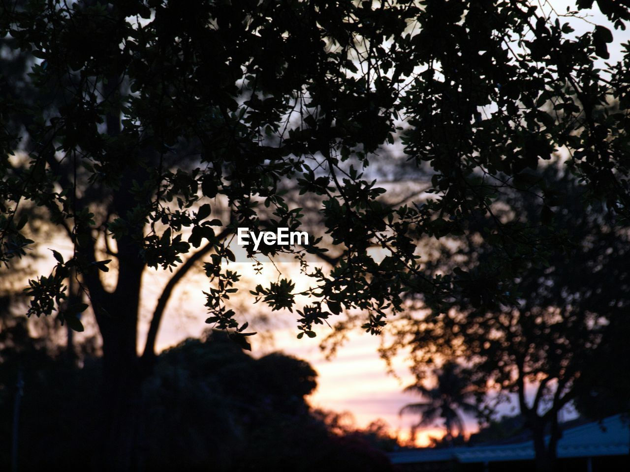 Silhouette trees at dusk