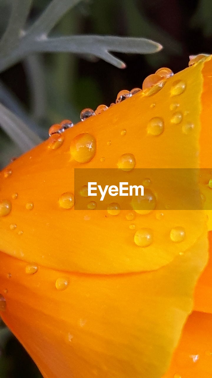 orange color, close-up, drop, freshness, nature, water, outdoors, wet, no people, beauty in nature, day, yellow, growth, plant, flower, fragility, flower head