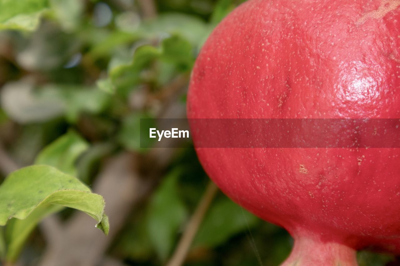 red, food, food and drink, freshness, fruit, close-up, healthy eating, plant, growth, wellbeing, no people, focus on foreground, nature, day, beauty in nature, apple - fruit, leaf, outdoors, selective focus, plant part, ripe