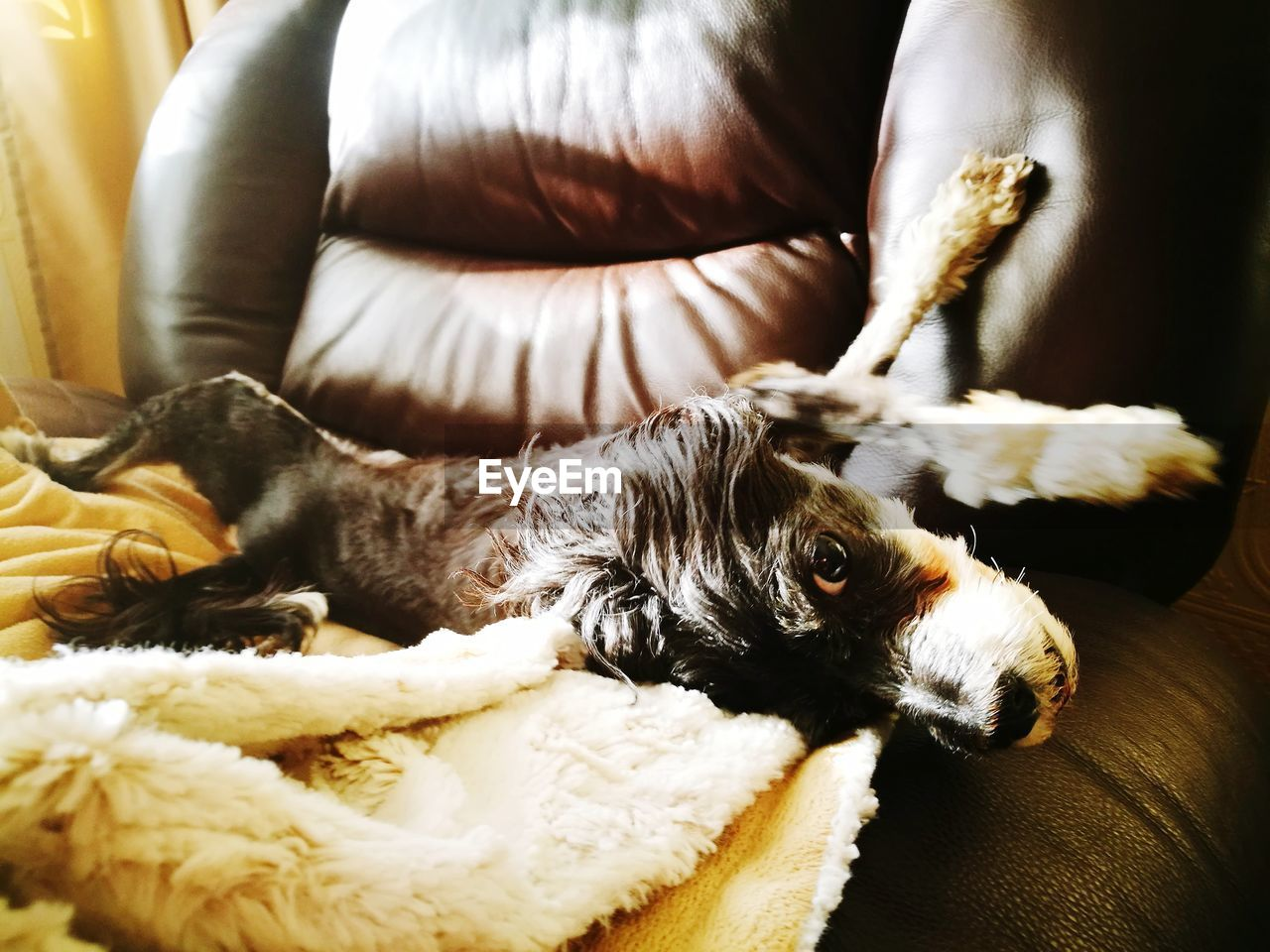 animal themes, domestic, pets, mammal, domestic animals, animal, one animal, vertebrate, canine, dog, relaxation, indoors, furniture, no people, resting, home interior, lap dog, bed, comfortable, portrait, small, animal head, duvet