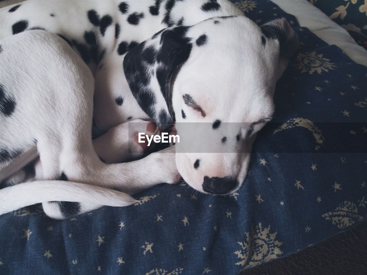 High Angle View Of Dalmatian Sleeping On Bed At Home