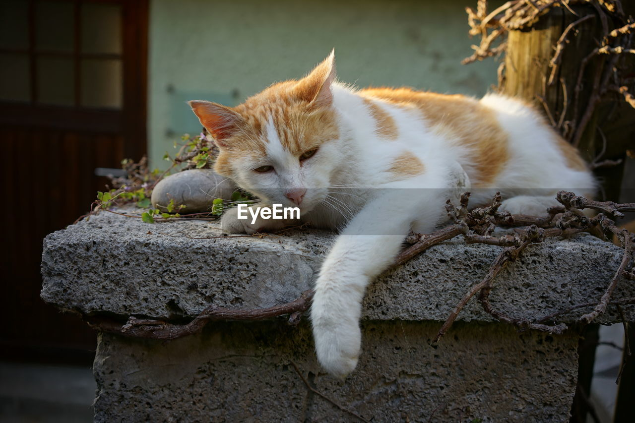 domestic cat, cat, animal themes, domestic, animal, pets, feline, mammal, domestic animals, vertebrate, one animal, no people, relaxation, solid, focus on foreground, rock, day, outdoors, rock - object, wall, whisker