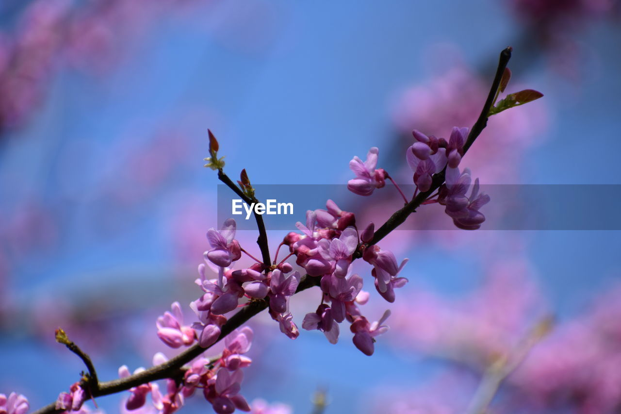 flower, flowering plant, fragility, vulnerability, growth, plant, beauty in nature, freshness, pink color, focus on foreground, blossom, close-up, nature, springtime, tree, petal, no people, day, branch, low angle view, purple, flower head, outdoors, cherry blossom, spring, cherry tree