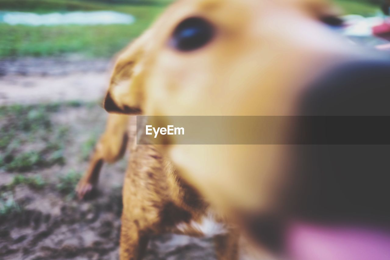 one animal, animal themes, close-up, selective focus, domestic animals, no people, mammal, day, outdoors