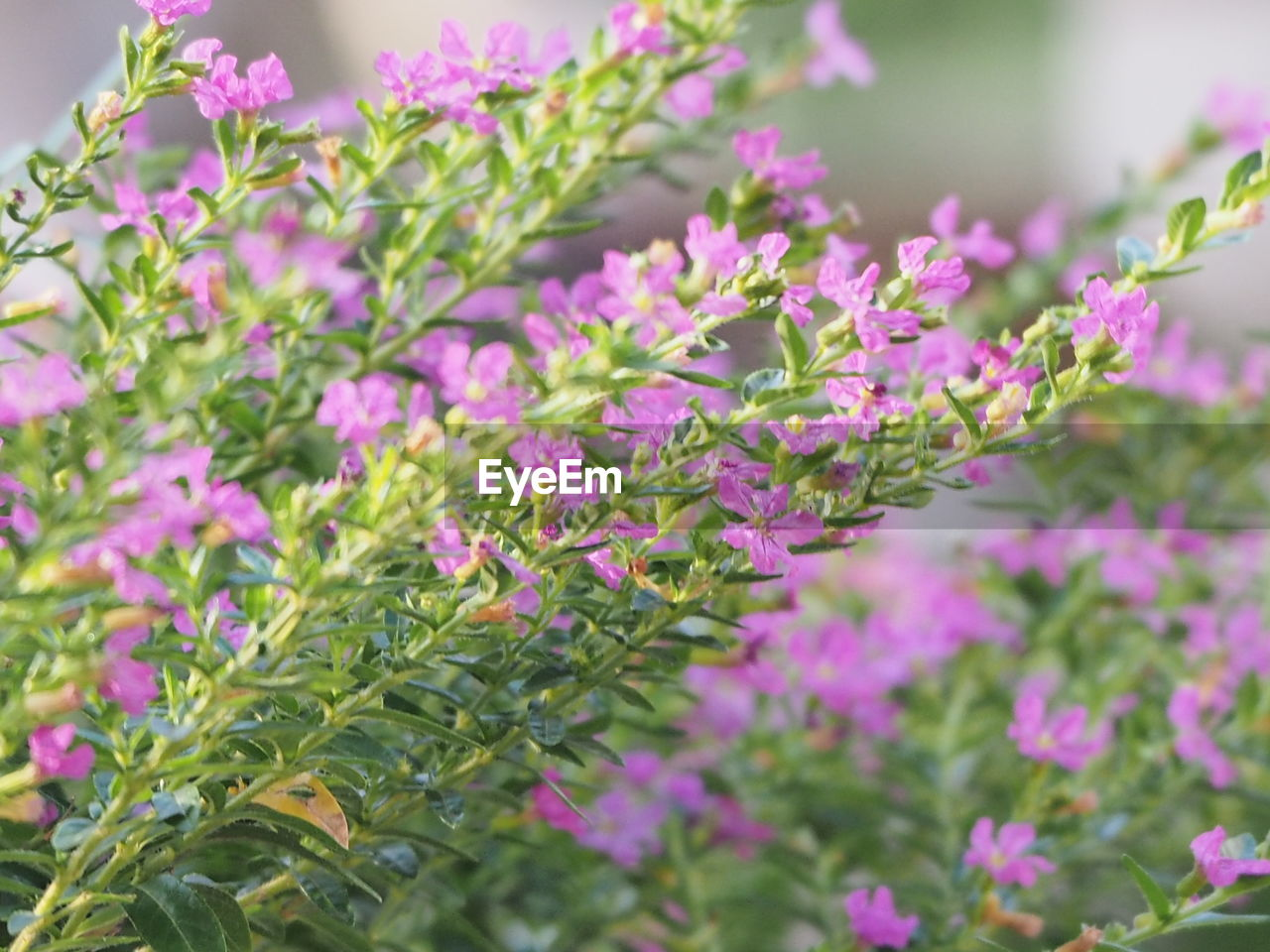 plant, growth, beauty in nature, flowering plant, flower, plant part, freshness, leaf, close-up, vulnerability, fragility, focus on foreground, nature, pink color, day, selective focus, green color, no people, outdoors, inflorescence, purple, flower head