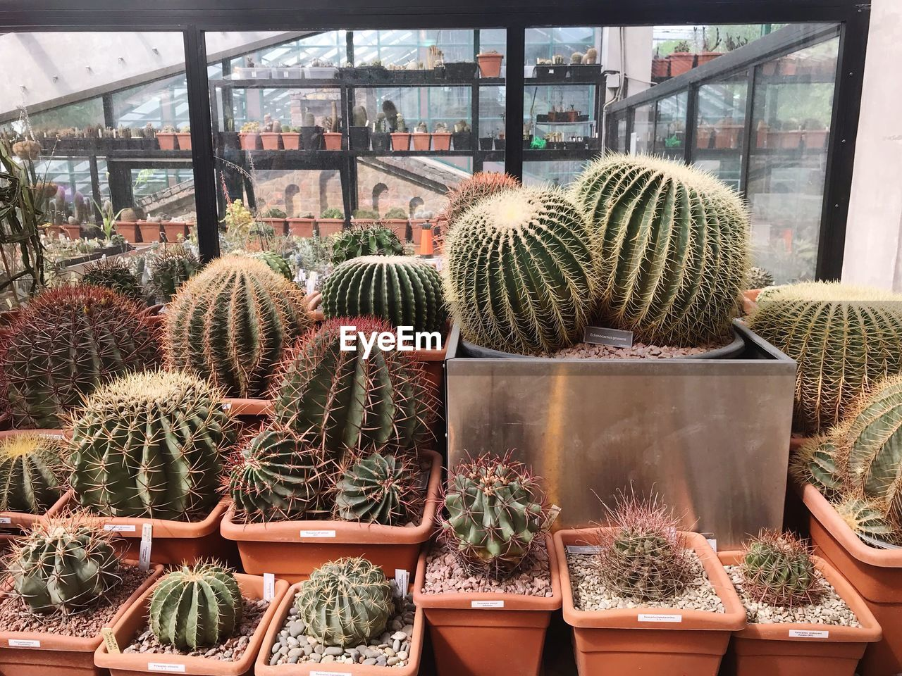 succulent plant, cactus, plant, thorn, growth, barrel cactus, potted plant, day, greenhouse, nature, window, indoors, spiked, no people, choice, variation, sharp, botany, green color, plant nursery, flower pot