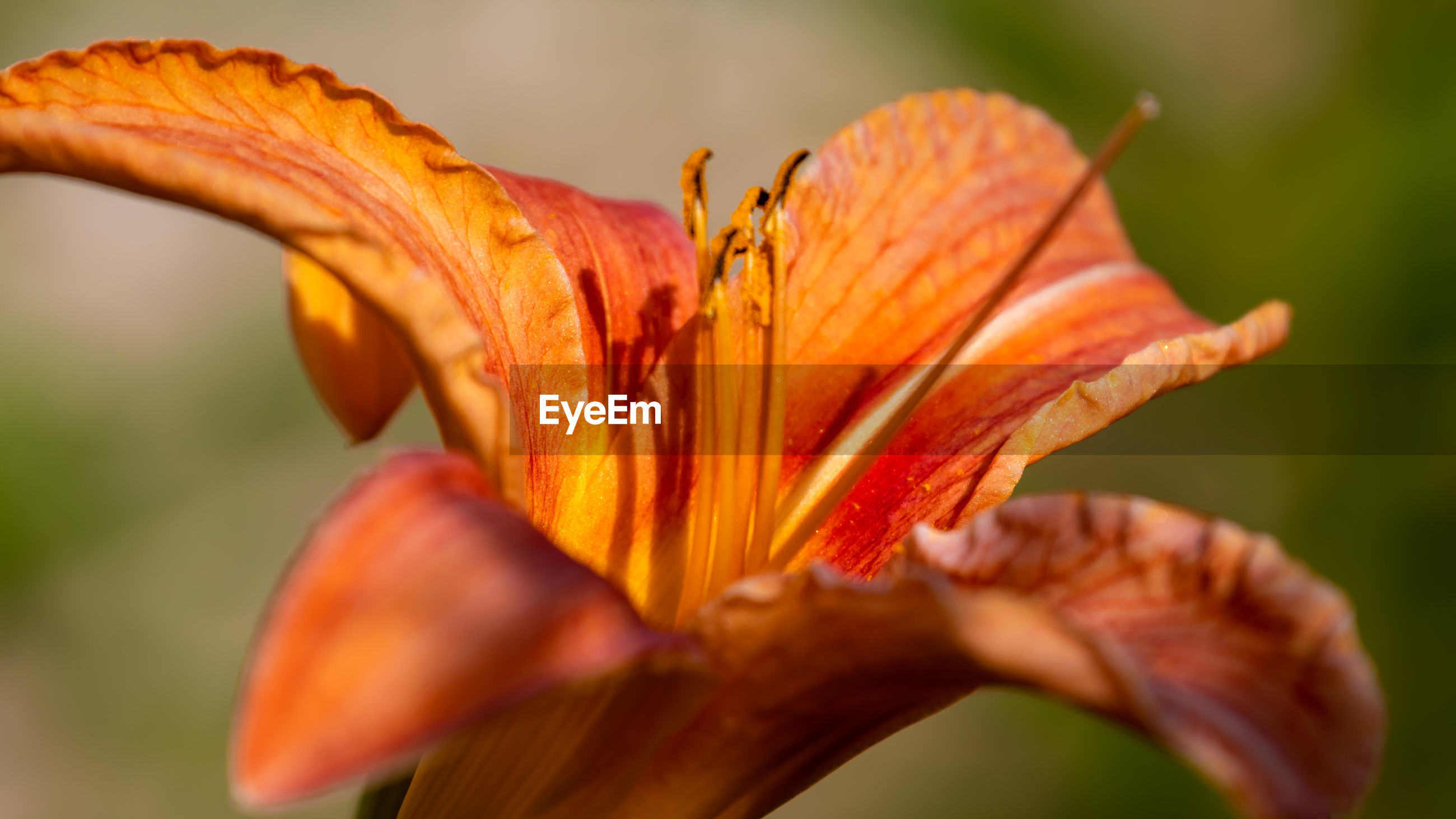CLOSE-UP OF ORANGE DAY LILY FLOWER