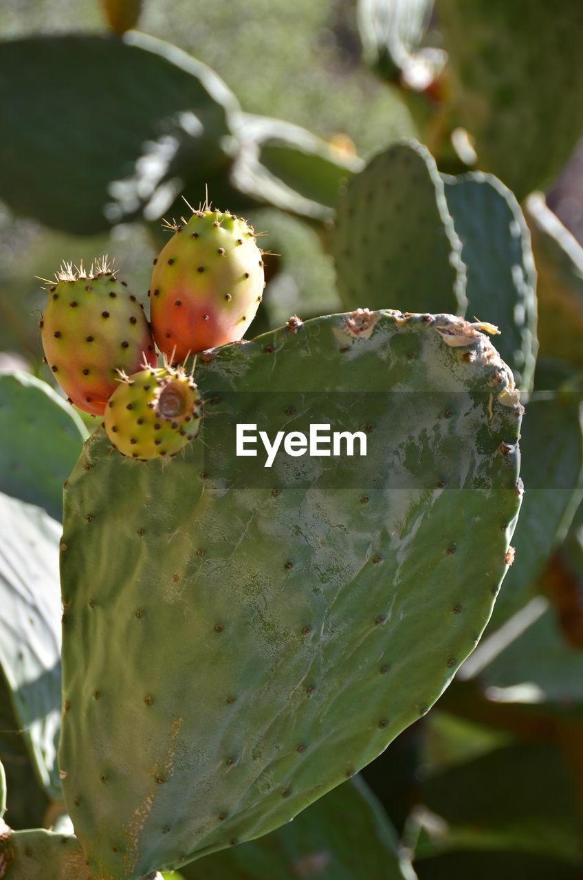 Close-Up Of Prickly Pear Cactus