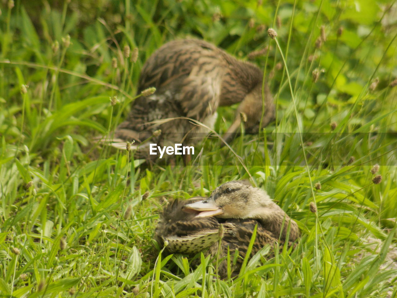young bird, animal themes, grass, young animal, togetherness, duckling, animals in the wild, field, nature, green color, growth, bird, no people, gosling, outdoors, day, mammal