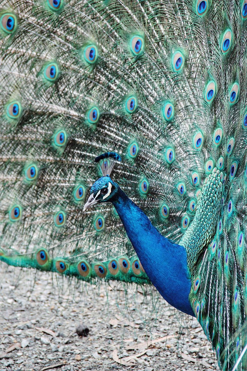 animal themes, animal, peacock, bird, animals in the wild, animal wildlife, vertebrate, one animal, peacock feather, feather, fanned out, no people, beauty in nature, day, blue, male animal, multi colored, close-up, pattern, nature, outdoors, animal head