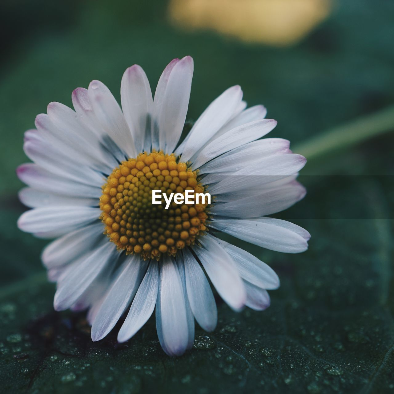 flowering plant, flower, vulnerability, petal, fragility, freshness, flower head, inflorescence, beauty in nature, plant, close-up, growth, pollen, nature, focus on foreground, day, white color, no people, yellow, gazania, purple
