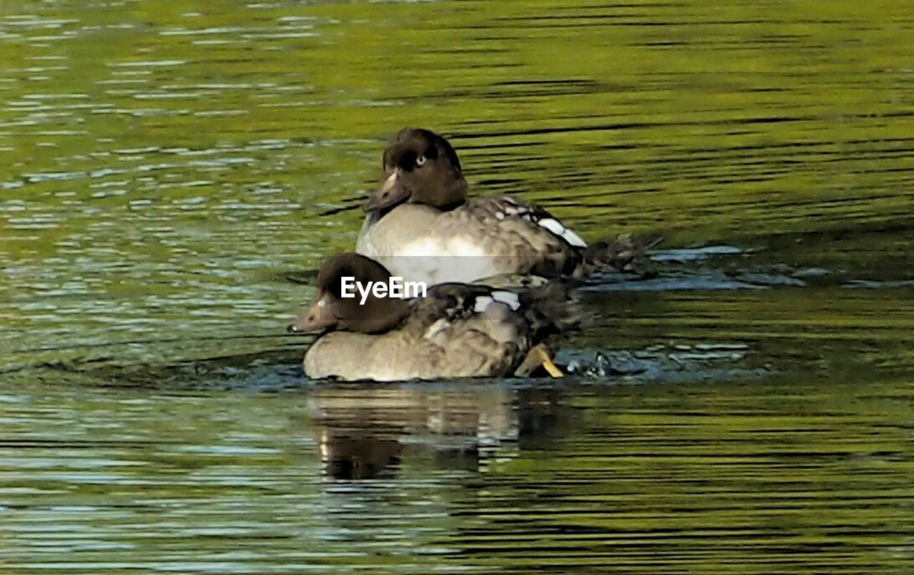 animals in the wild, lake, animal themes, bird, water, waterfront, animal wildlife, duck, nature, swimming, one animal, water bird, reflection, day, no people, outdoors, mandarin duck, beauty in nature