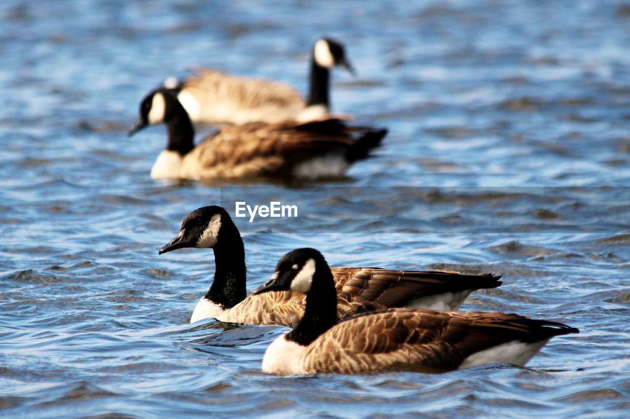 bird, animal themes, animal wildlife, animals in the wild, animal, group of animals, vertebrate, water, swimming, waterfront, lake, goose, canada goose, no people, nature, day, water bird, beauty in nature, outdoors, animal family, gosling