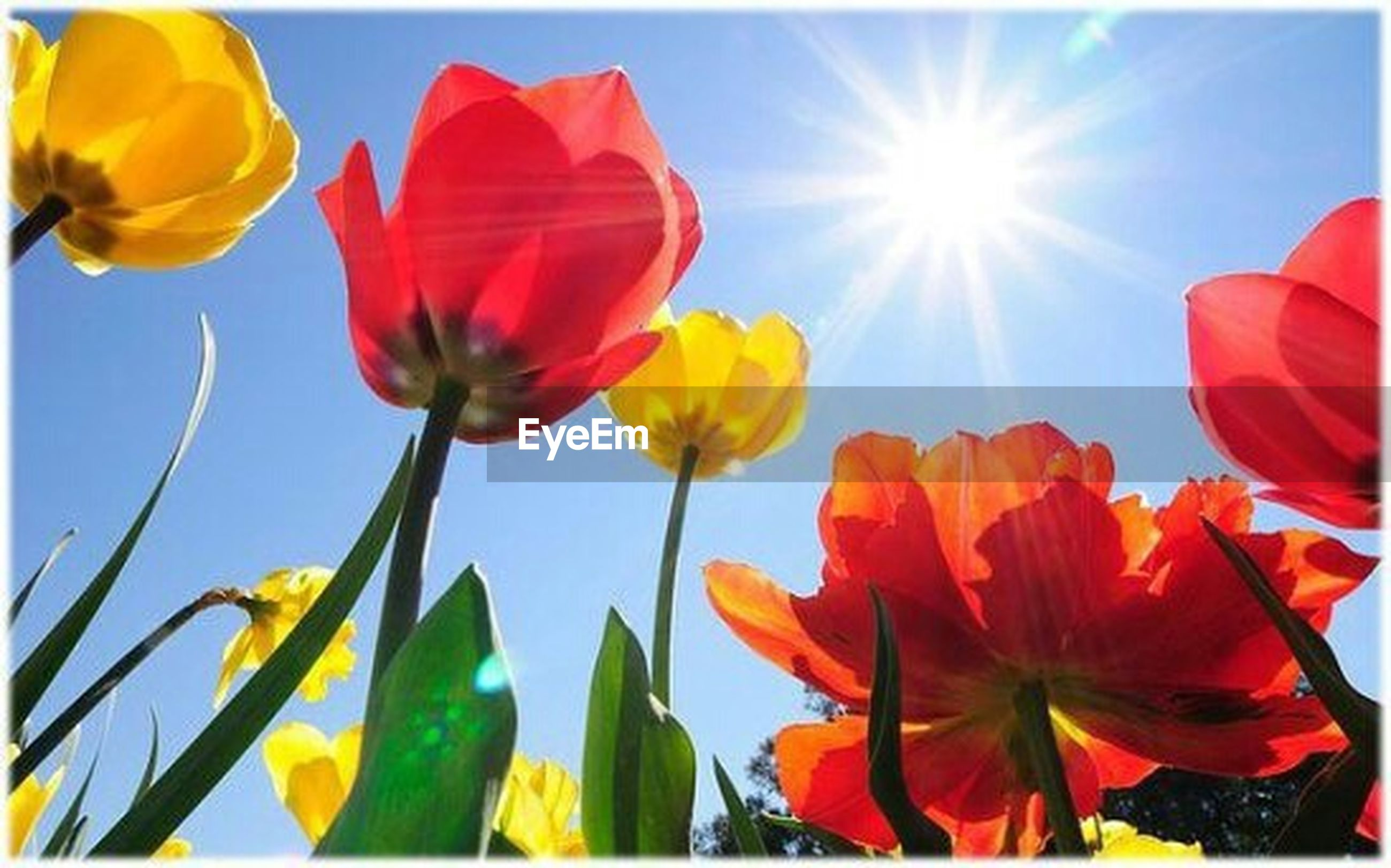 flower, petal, fragility, freshness, sun, sunlight, low angle view, beauty in nature, growth, flower head, clear sky, blooming, nature, sunbeam, sky, yellow, plant, red, blue, tulip