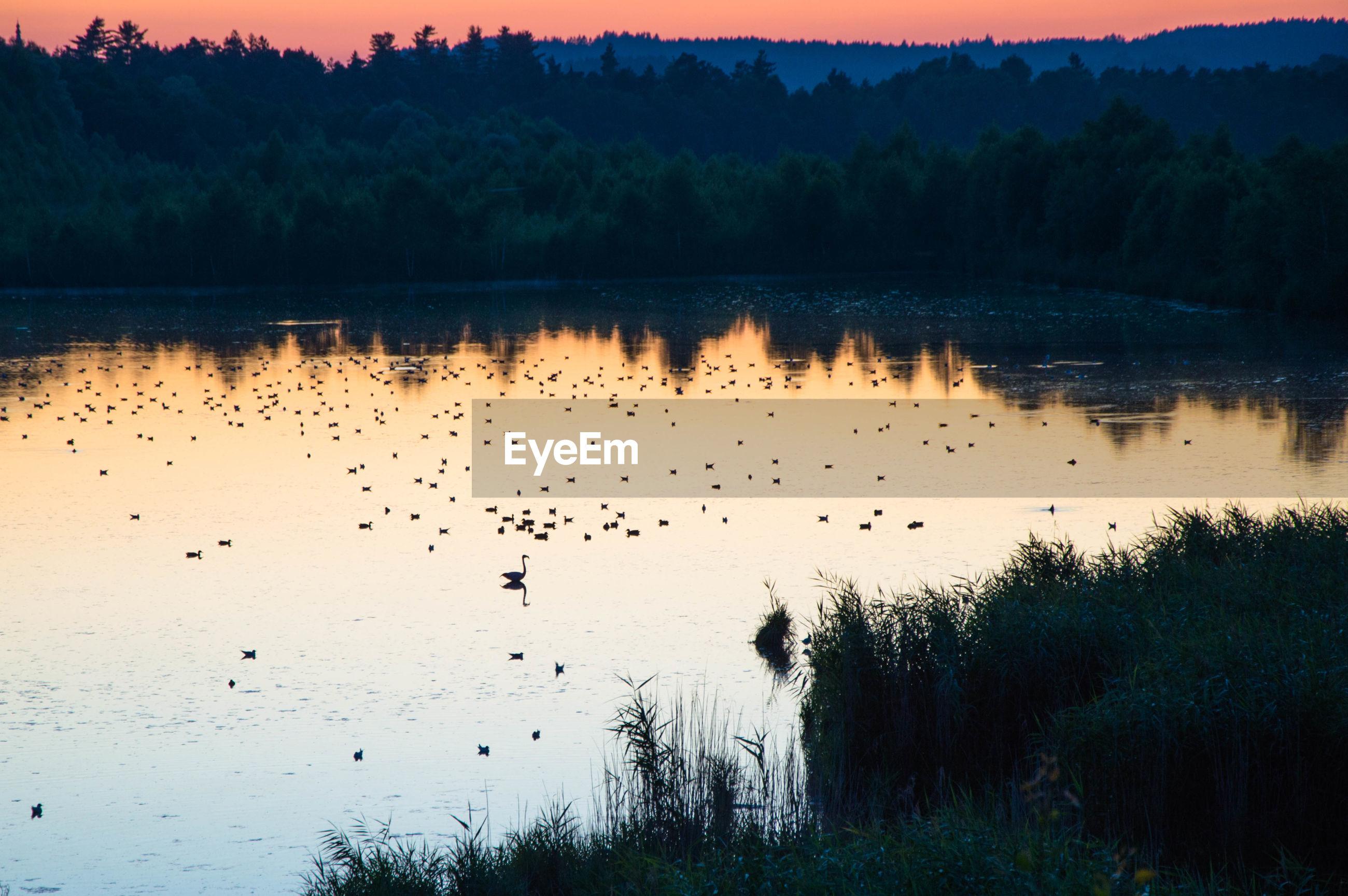 Birds swimming on lake at sunset