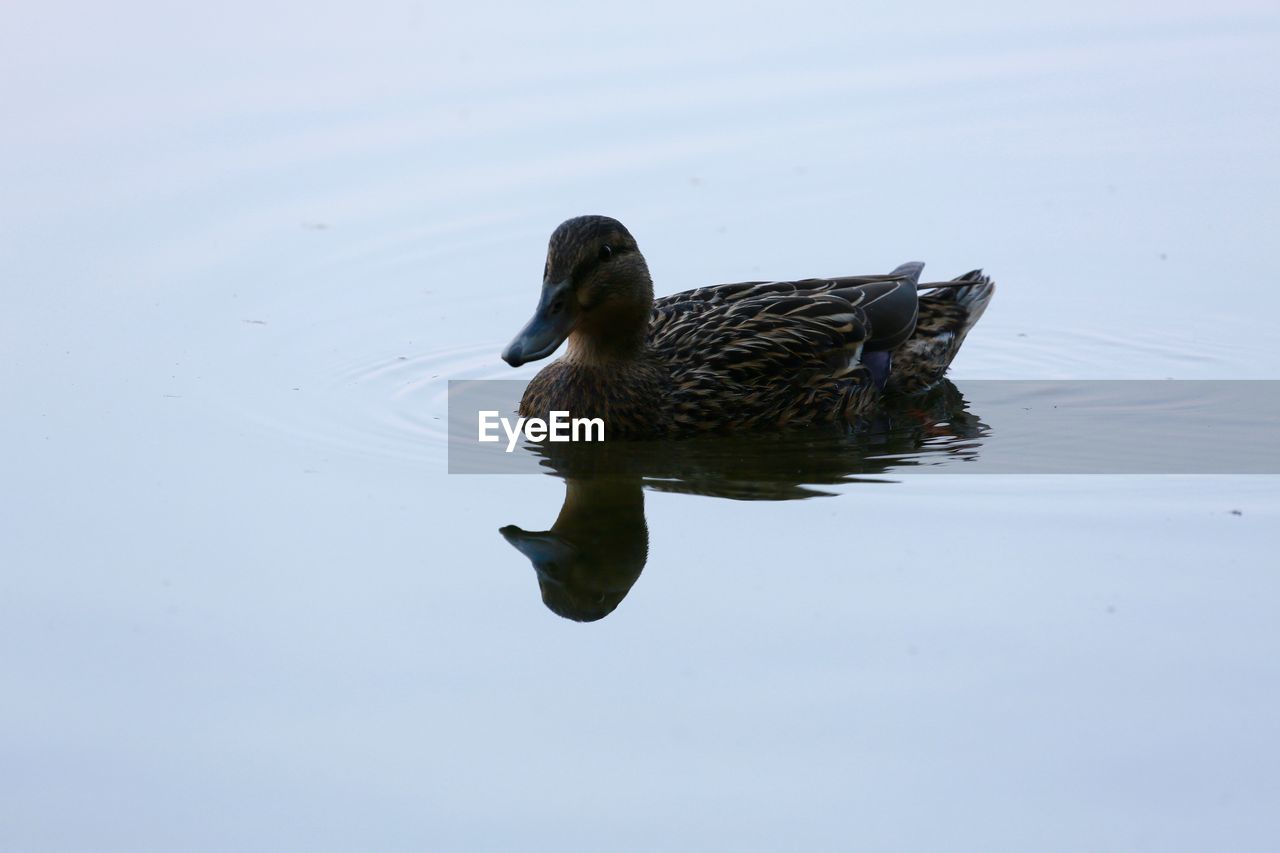animals in the wild, animal themes, one animal, swimming, water, bird, lake, animal wildlife, duck, reflection, waterfront, nature, water bird, no people, day, outdoors