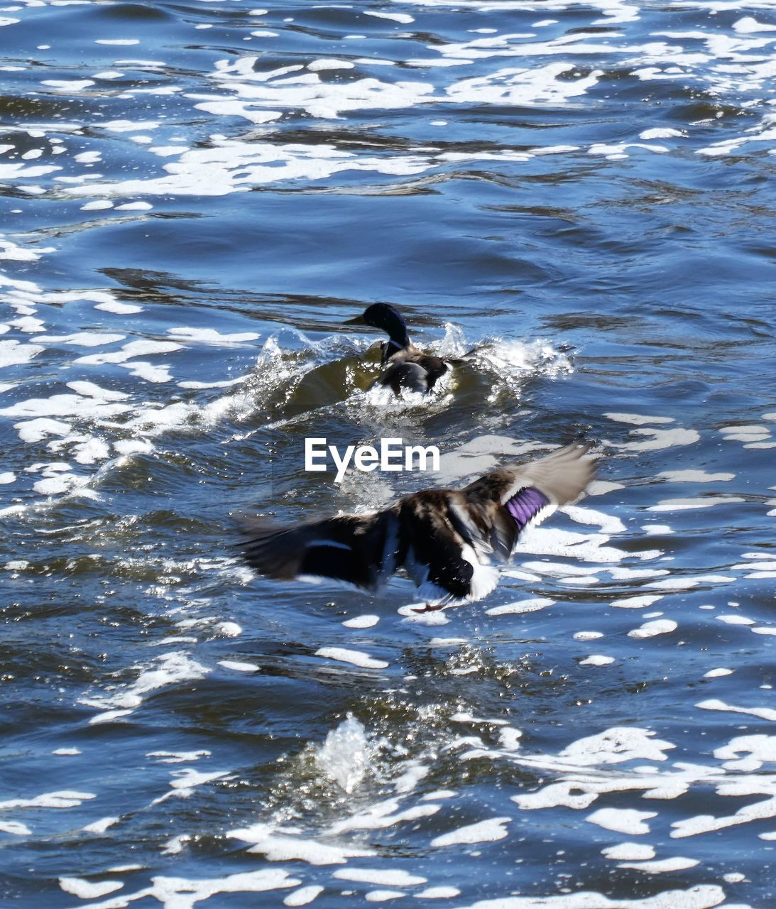 animal, animal themes, water, one animal, vertebrate, mammal, motion, swimming, animals in the wild, waterfront, animal wildlife, sea, day, nature, rippled, no people, dog, outdoors, high angle view, animal head