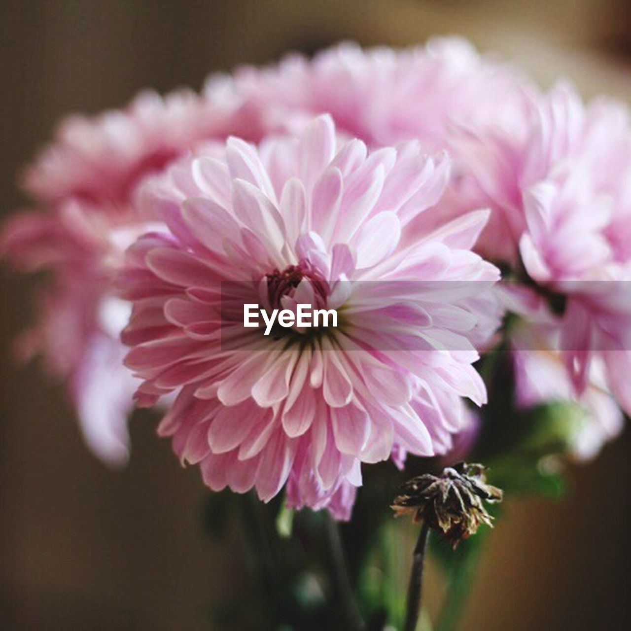 flower, flowering plant, plant, pink color, freshness, beauty in nature, fragility, close-up, vulnerability, petal, flower head, inflorescence, no people, nature, focus on foreground, growth, peony, outdoors, day, dahlia