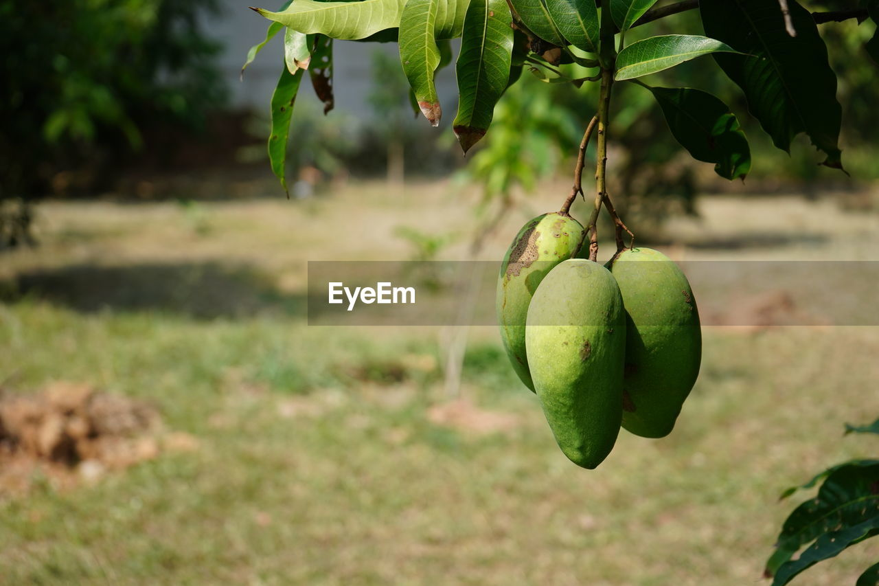 fruit, healthy eating, food and drink, food, green color, focus on foreground, plant, freshness, nature, day, wellbeing, growth, leaf, plant part, field, no people, close-up, tree, land, outdoors, ripe