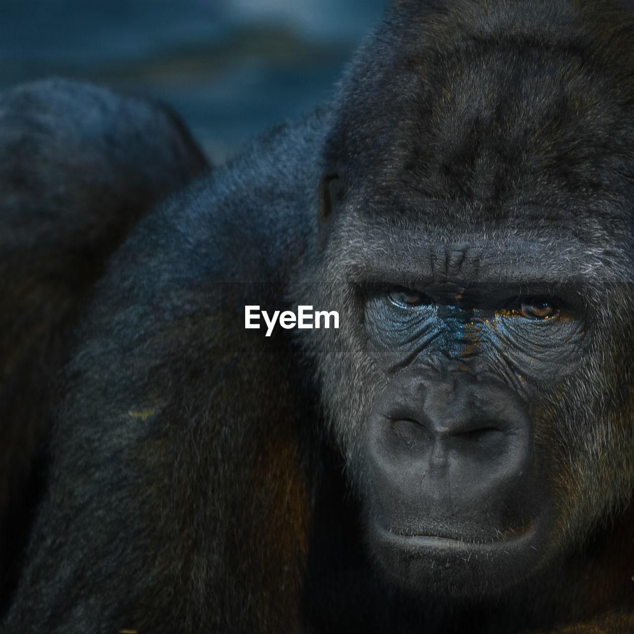 Portrait of gorilla at zoo
