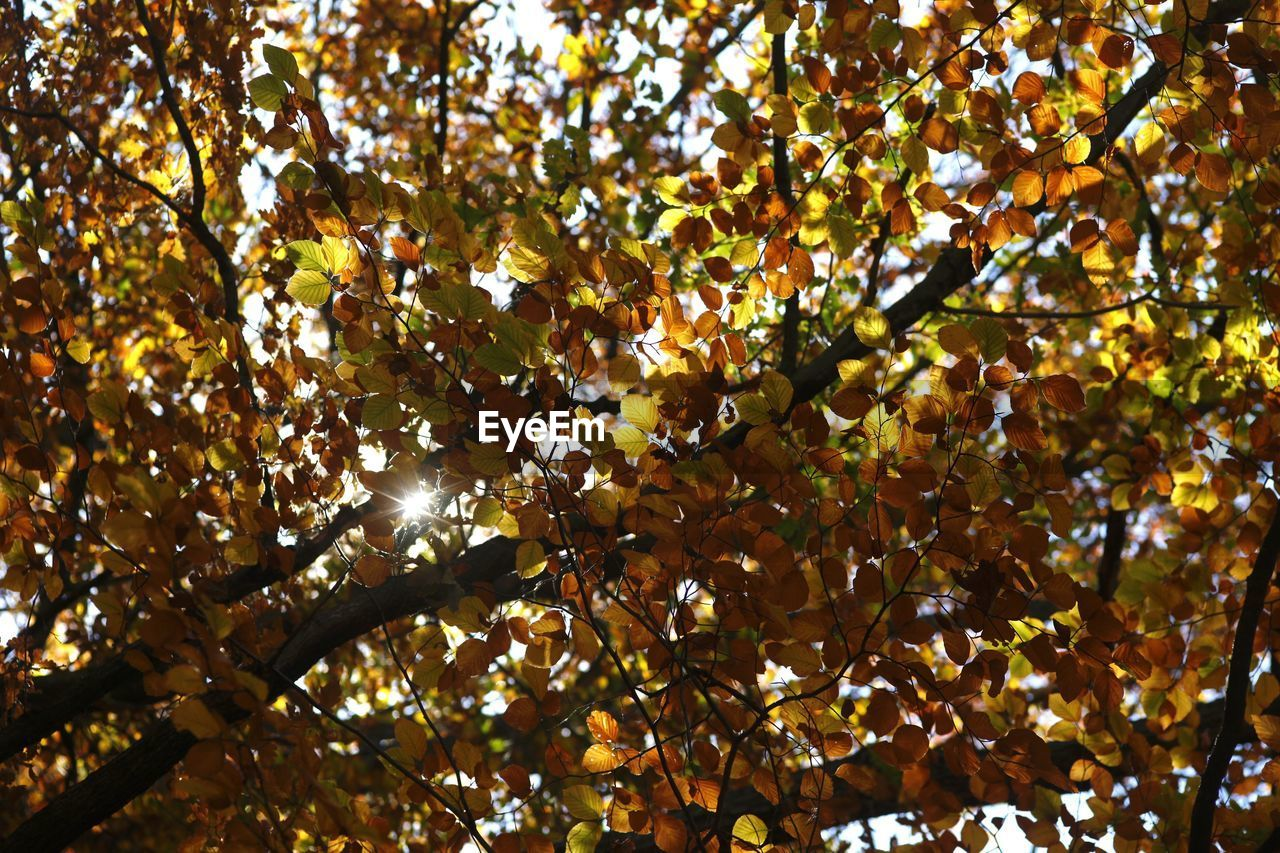 tree, nature, branch, growth, beauty in nature, leaf, low angle view, autumn, fruit, outdoors, no people, day, freshness, close-up