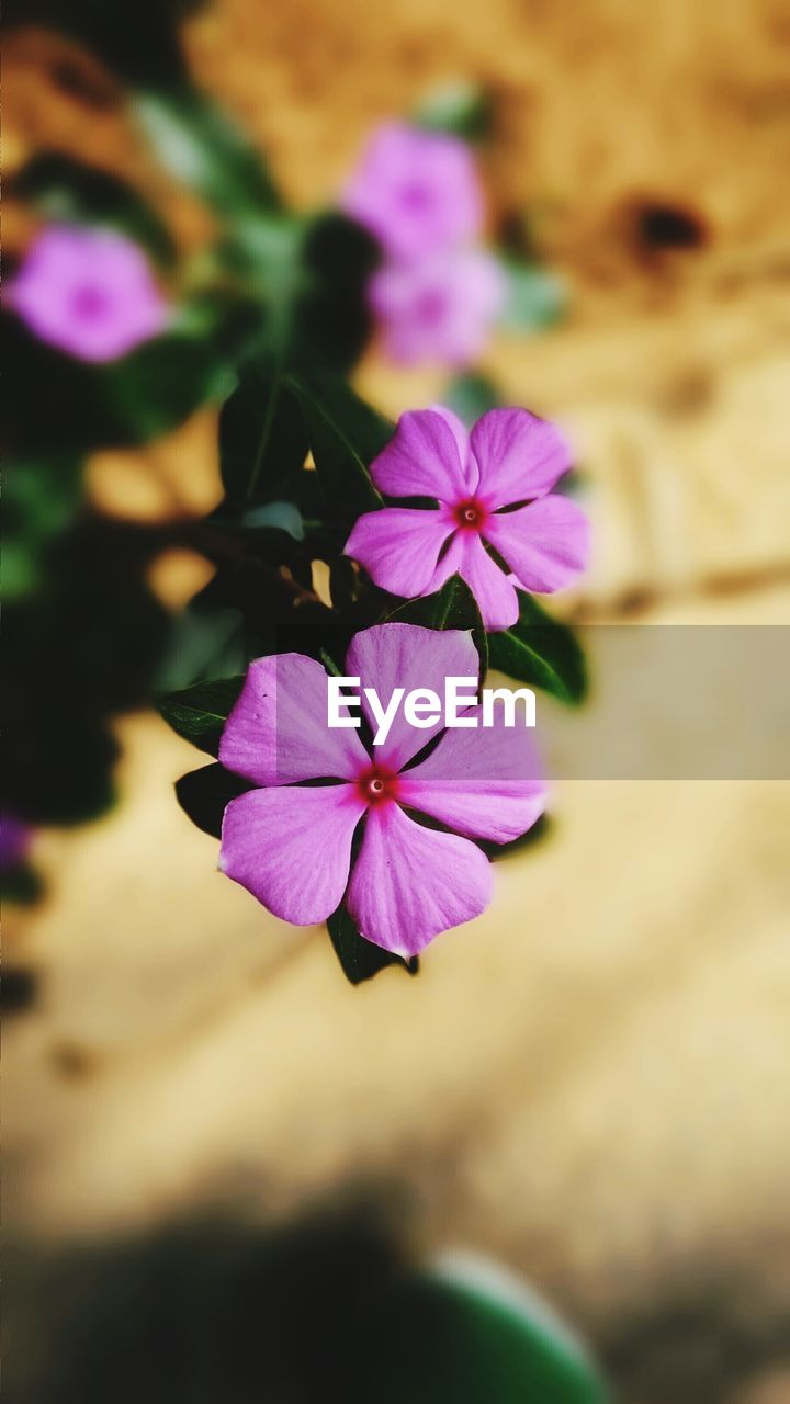 flower, petal, fragility, purple, flower head, freshness, beauty in nature, pink color, nature, growth, close-up, blooming, no people, day, outdoors, periwinkle, petunia