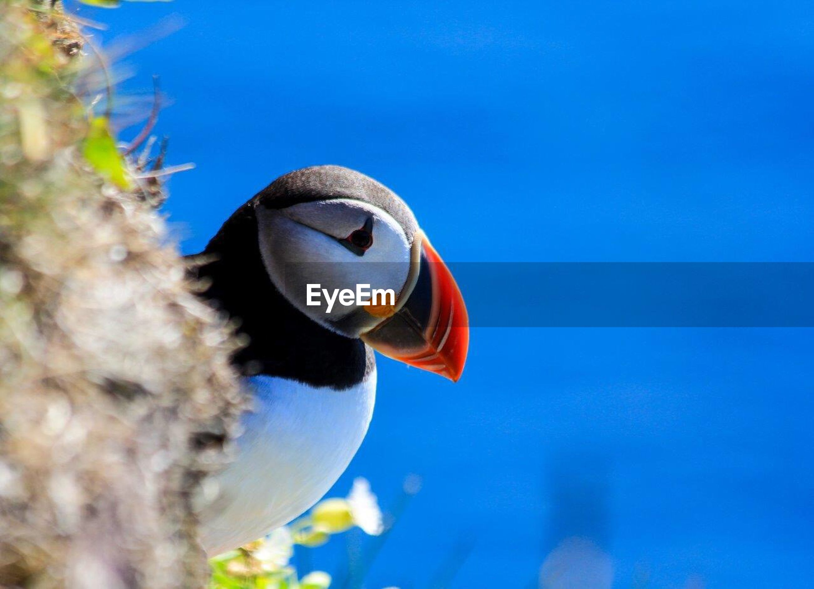 Close-up of puffin against blue sky