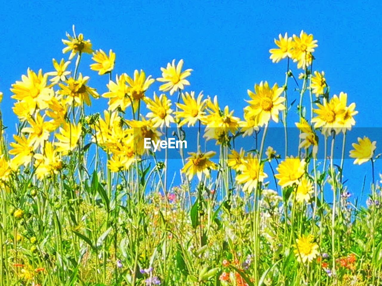 flower, growth, yellow, nature, blue, plant, field, day, beauty in nature, outdoors, no people, springtime, freshness, grass, green color, fragility, clear sky, rural scene, flower head, close-up, sky