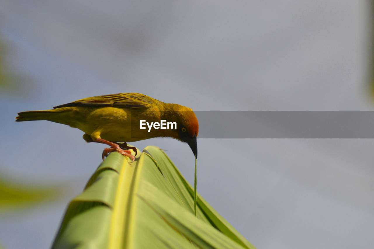 animal themes, bird, animal wildlife, animals in the wild, animal, perching, one animal, vertebrate, low angle view, day, yellow, no people, nature, sky, focus on foreground, outdoors, close-up, parrot, green color, selective focus
