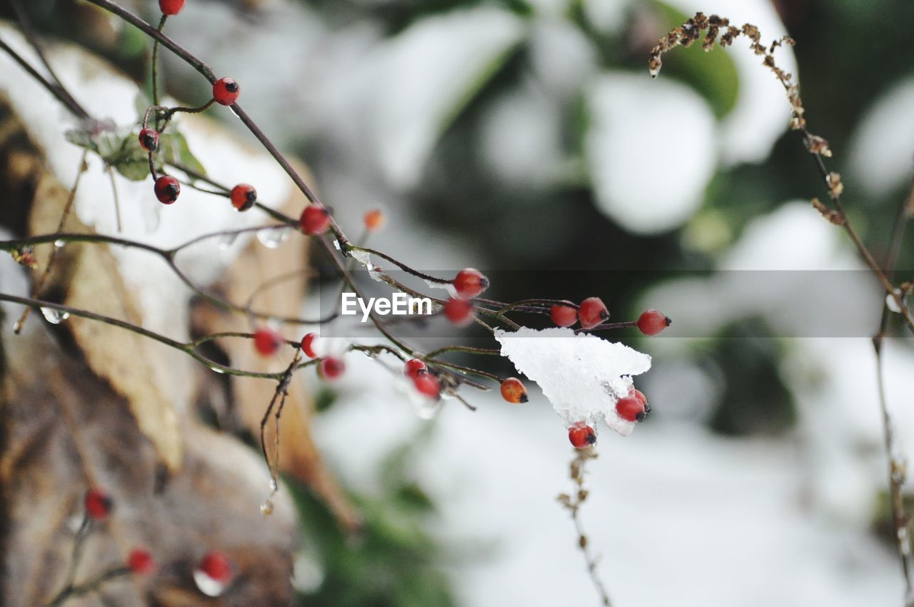 plant, tree, growth, berry fruit, food and drink, focus on foreground, healthy eating, fruit, food, beauty in nature, close-up, day, no people, winter, red, branch, cold temperature, nature, freshness, snow, outdoors, rowanberry