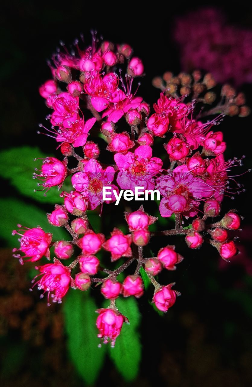 flowering plant, flower, freshness, vulnerability, plant, fragility, beauty in nature, growth, pink color, petal, close-up, inflorescence, flower head, nature, focus on foreground, no people, selective focus, day, outdoors, botany, springtime, bunch of flowers, lilac