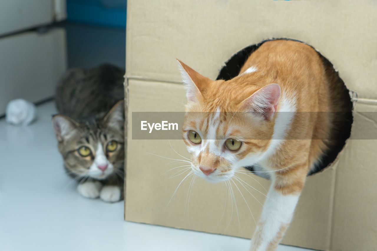 cat, pets, feline, domestic, domestic cat, domestic animals, animal themes, mammal, animal, vertebrate, one animal, whisker, portrait, looking at camera, indoors, no people, close-up, focus on foreground, animal head