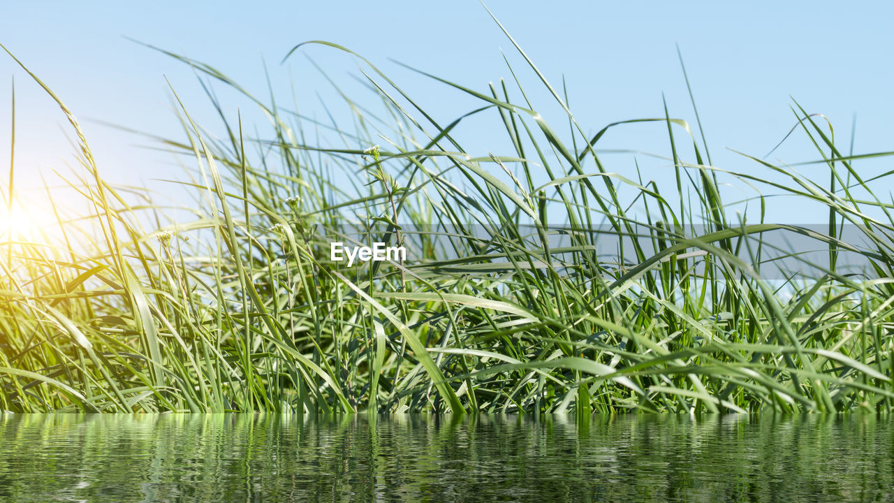 plant, growth, sky, water, nature, green color, tranquility, beauty in nature, day, grass, no people, land, waterfront, outdoors, tranquil scene, field, focus on foreground, lake, scenics - nature, blade of grass, stalk