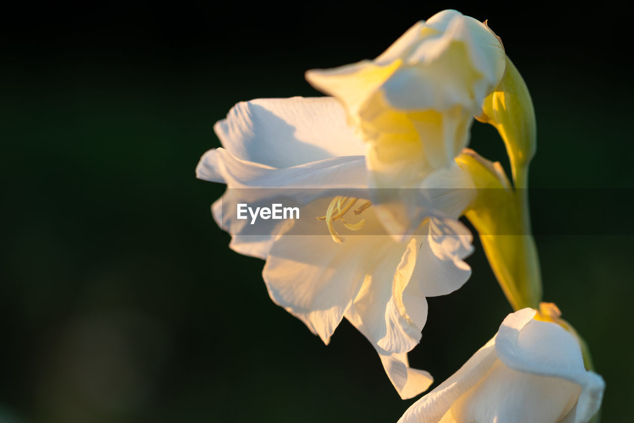 flowering plant, flower, petal, beauty in nature, fragility, freshness, plant, vulnerability, inflorescence, flower head, close-up, growth, white color, nature, no people, focus on foreground, black background, studio shot, pollen, outdoors