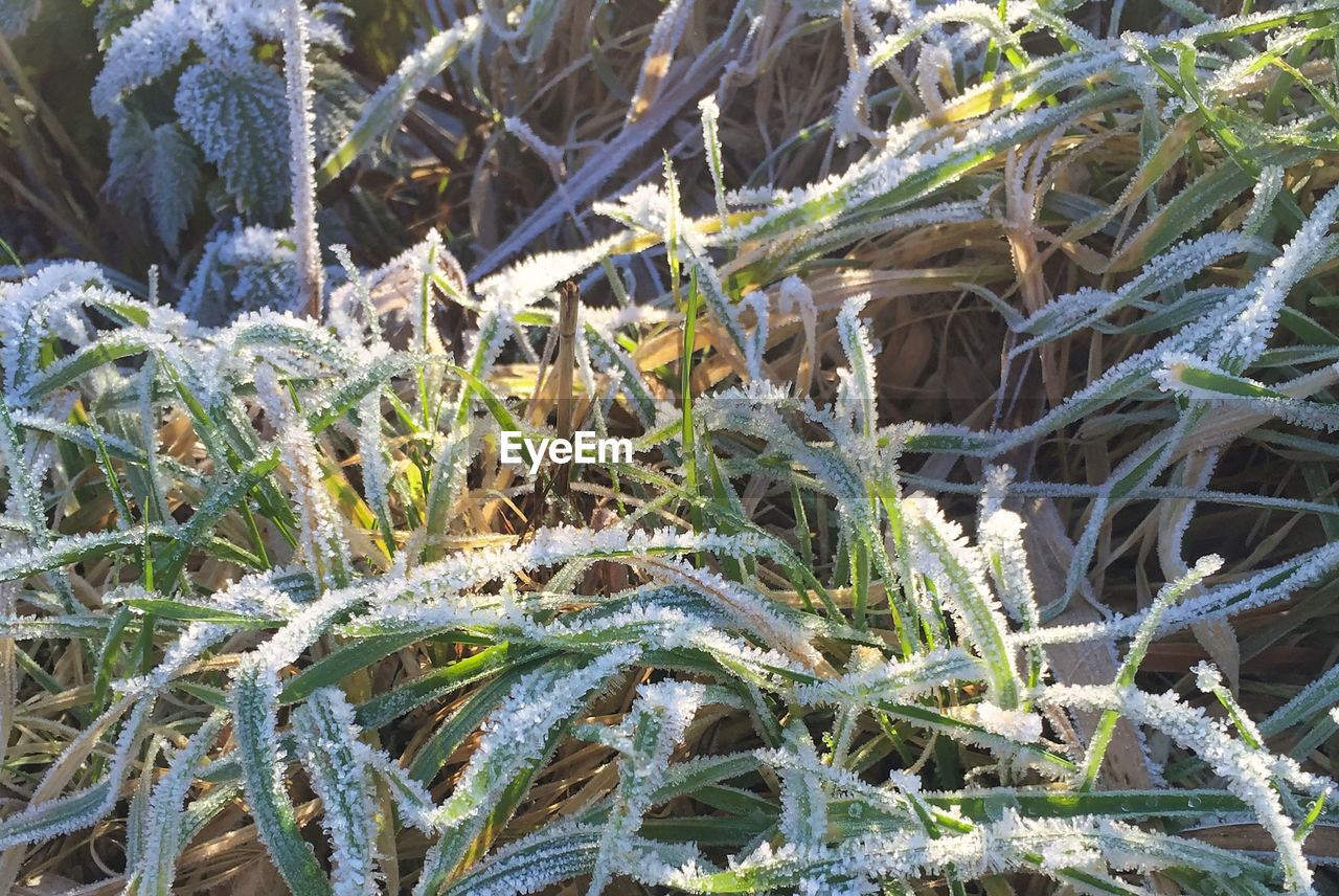 plant, cold temperature, day, growth, snow, winter, nature, close-up, frozen, beauty in nature, no people, ice, frost, land, field, outdoors, green color, high angle view, tranquility