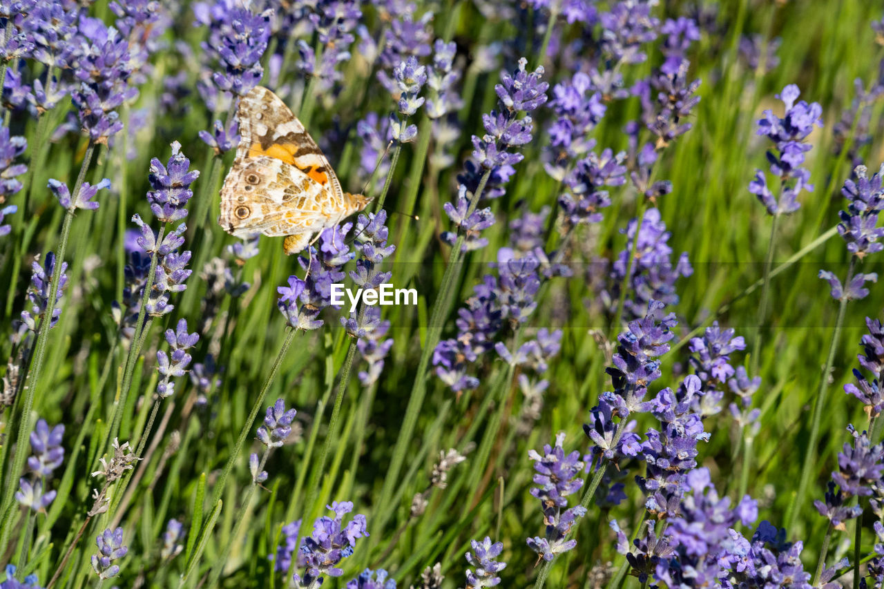 flower, plant, flowering plant, beauty in nature, growth, freshness, vulnerability, fragility, nature, close-up, animal wildlife, no people, purple, lavender, invertebrate, insect, land, animal, petal, animals in the wild, flower head, outdoors, pollination, small, butterfly - insect