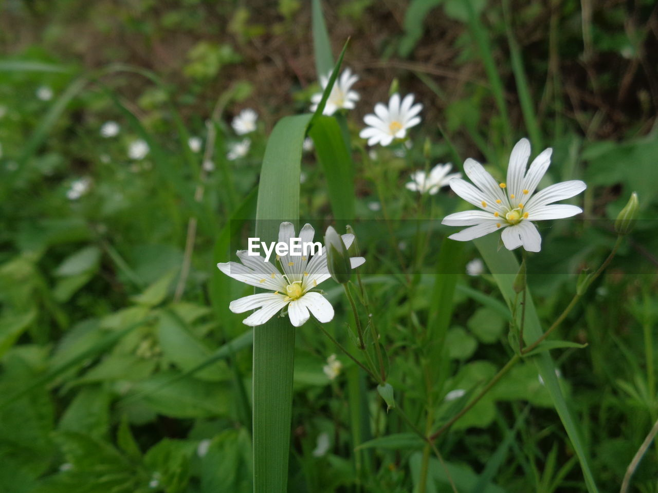 flower, growth, nature, petal, fragility, white color, beauty in nature, freshness, flower head, blooming, green color, day, outdoors, plant, no people, focus on foreground, leaf, close-up, grass