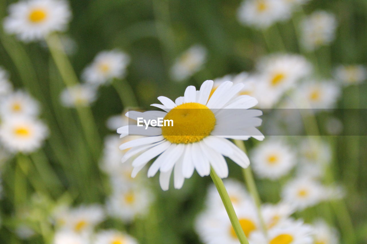 flowering plant, flower, plant, fragility, vulnerability, freshness, beauty in nature, growth, petal, flower head, inflorescence, white color, daisy, close-up, pollen, yellow, nature, day, focus on foreground, no people, outdoors