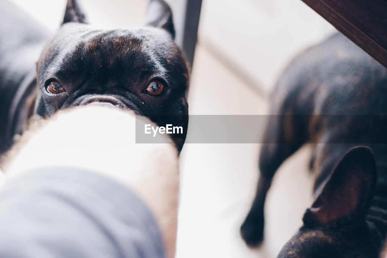 mammal, pets, domestic, dog, domestic animals, one animal, canine, vertebrate, selective focus, close-up, indoors, portrait, animal body part, pug, no people, looking at camera, small